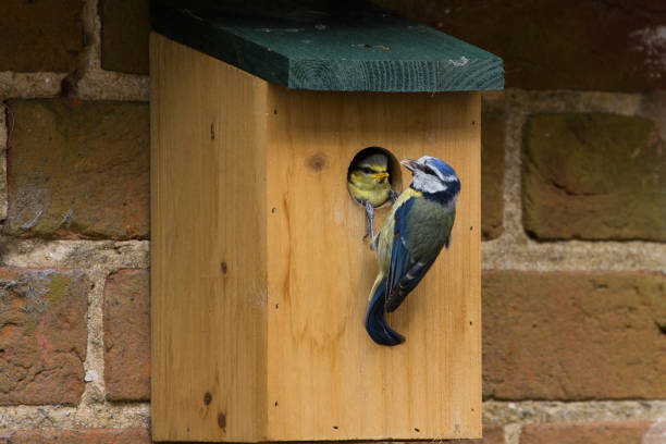 Juvenile Blue Tit (Cyanistes Caerules) fledging from nest box stock photo
