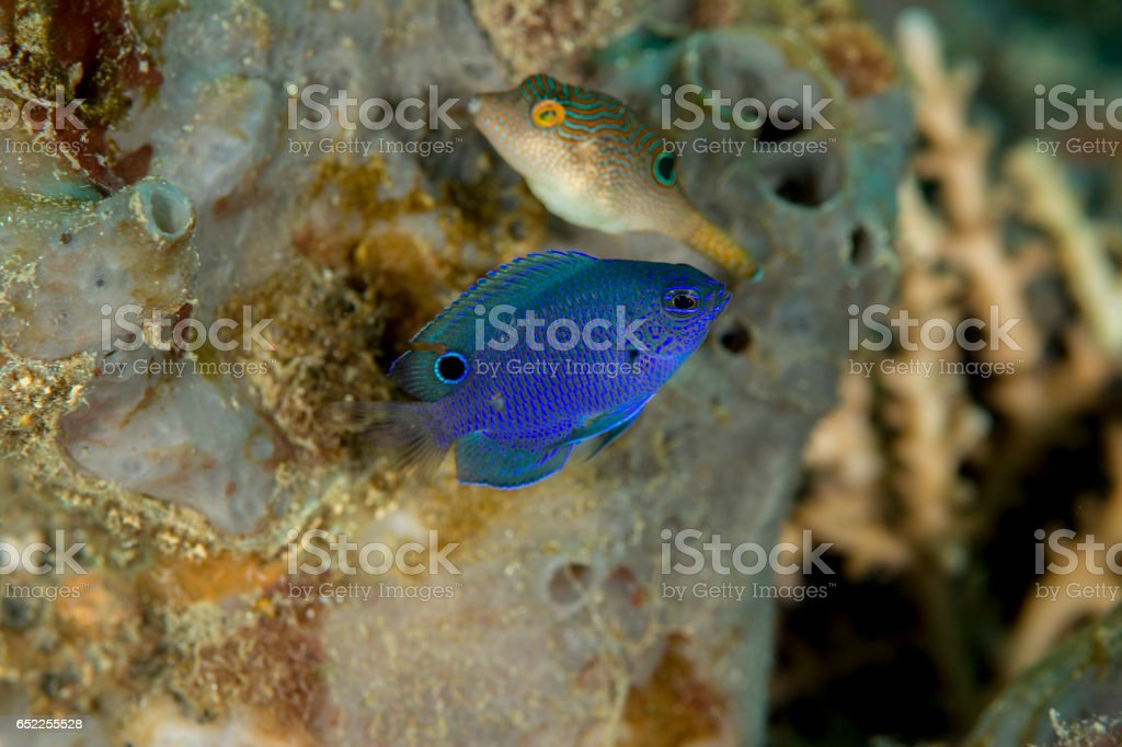 Juvenile Burrough's damselfish stock photo