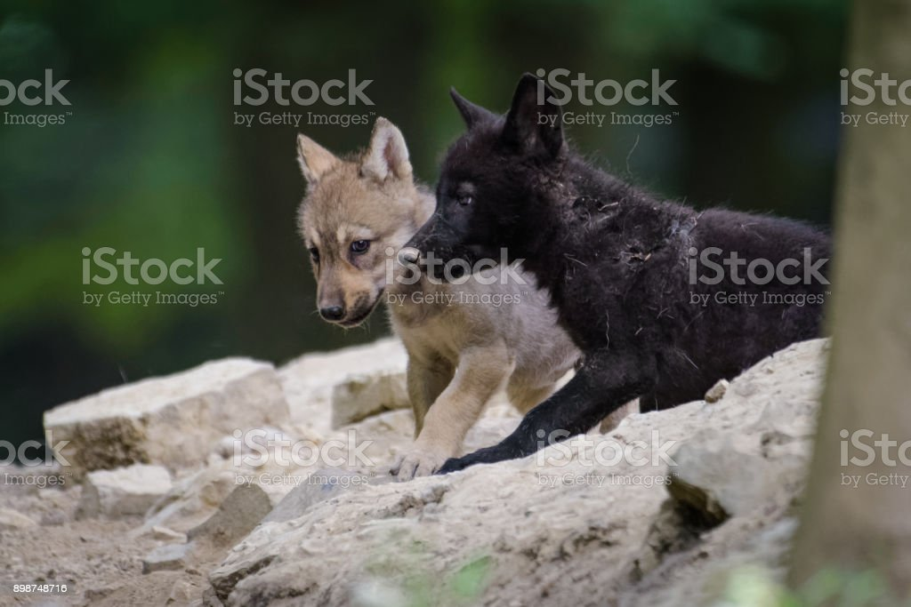 Juvenile Canadian Timberwolves Standing In The Forest Stock Photo