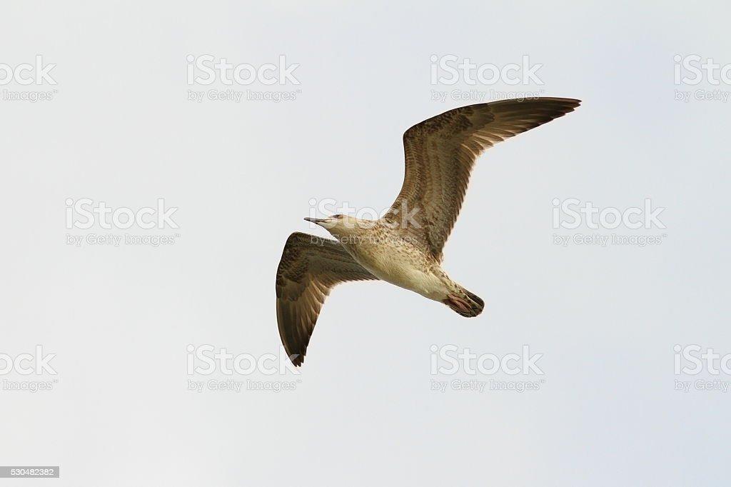 juvenile caspian gull in flight stock photo