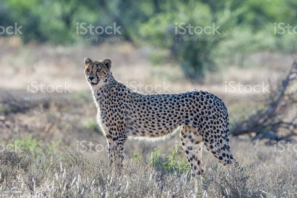 Juvenile Cheetah stock photo