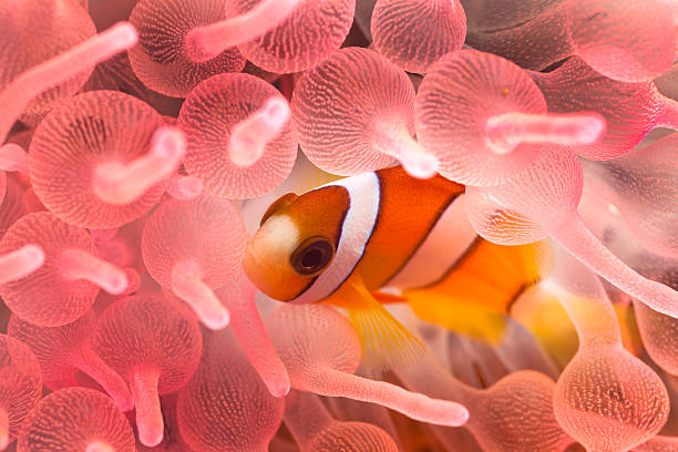 Juvenile Clarks Anemonefish in Pink Bubble Tip Anemone, Sumbawa, Indonesia Juvenile Clarks Anemonefish Amphiprion clarkii in Pink Bubble Tip Anemone Entacmaea quadricolor  sea anemone stock pictures, royalty-free photos & images
