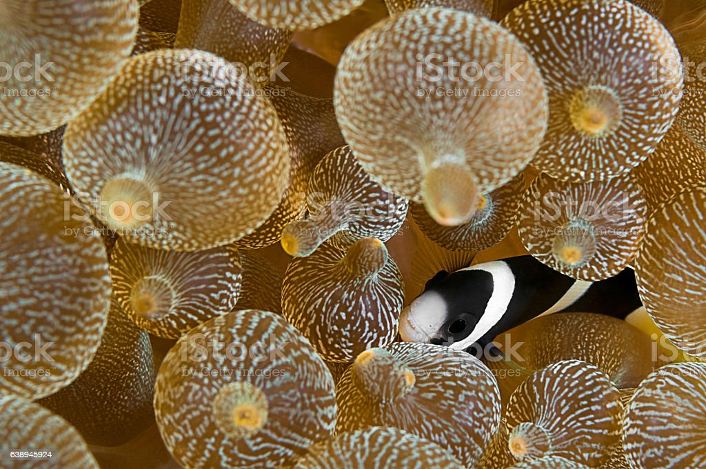 Juvenile Clark's Anemonefish - Photo