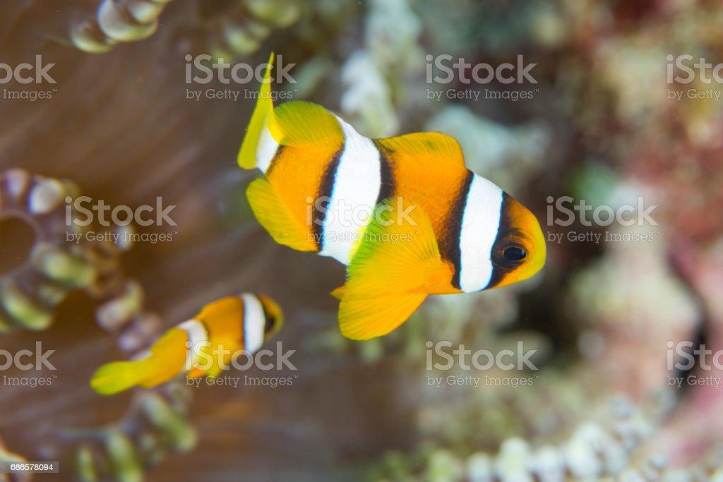 Juvenile Clown fish royalty-free stock photo