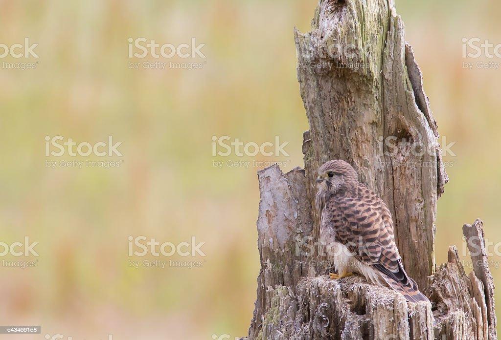 Juvenile Common Kestrel stock photo