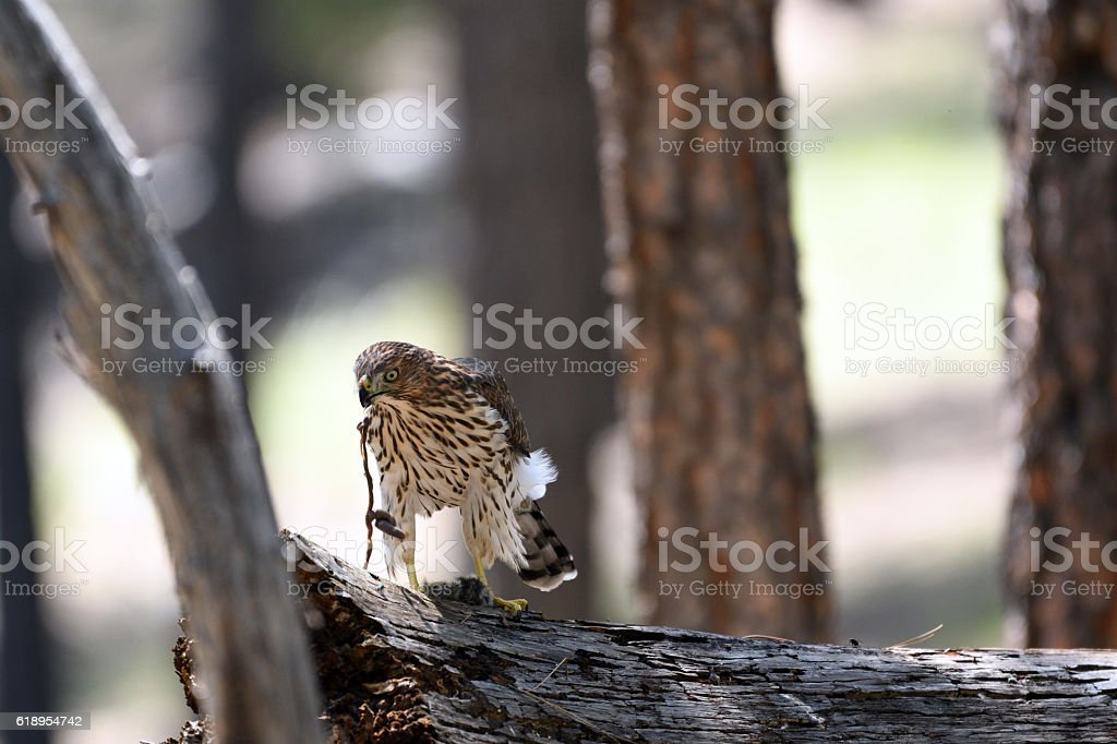 Juvenile Cooper's Hawk eviscerating caught rodent. stock photo