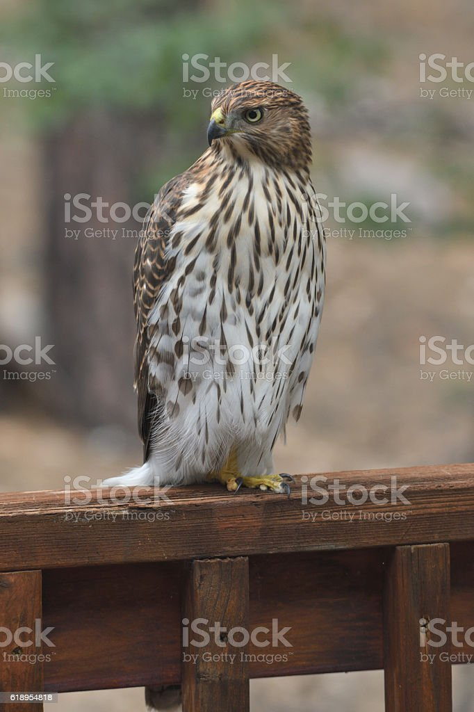 Juvenile Cooper's hawk perched on deck railing. stock photo