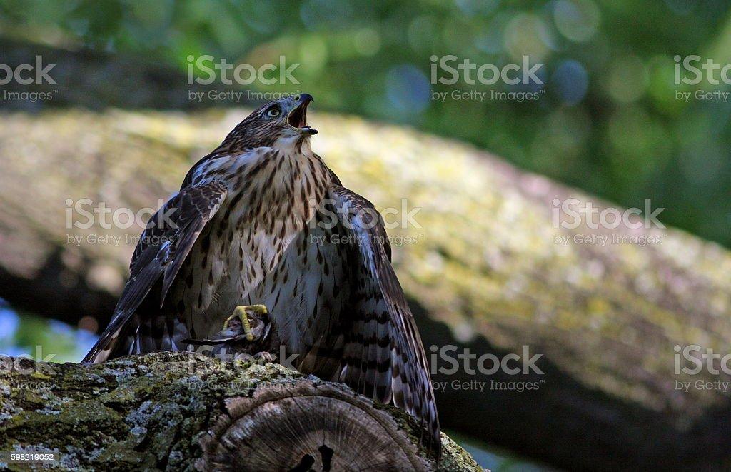 Juvenile Cooper's hawk foto royalty-free