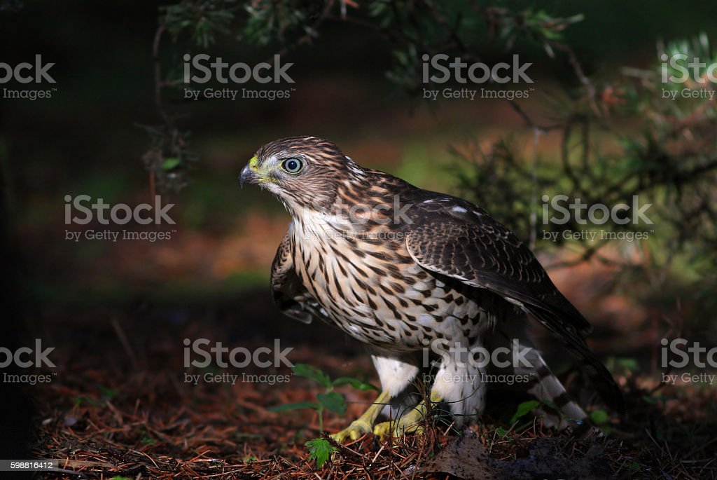 Juvenile Cooper's hawk stock photo