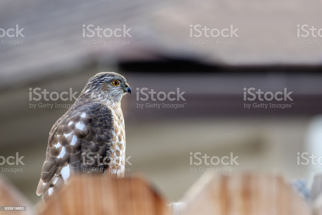 Juvenile Cooper's hawk sitting on a fence. stock photo