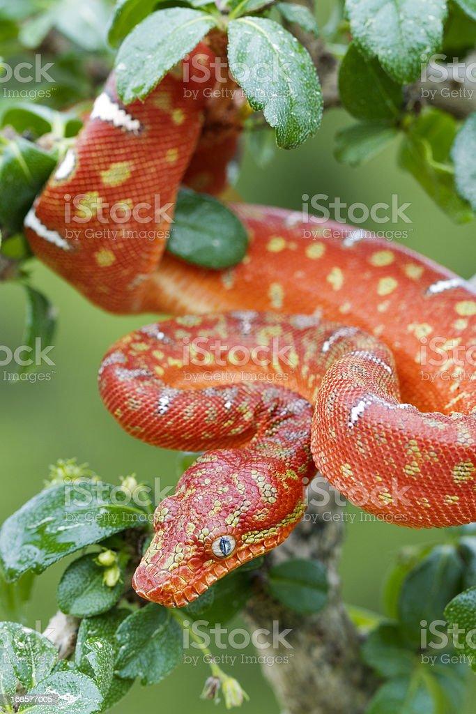 Juvenile Emerald Tree Boa-czerwony etap – zdjęcie