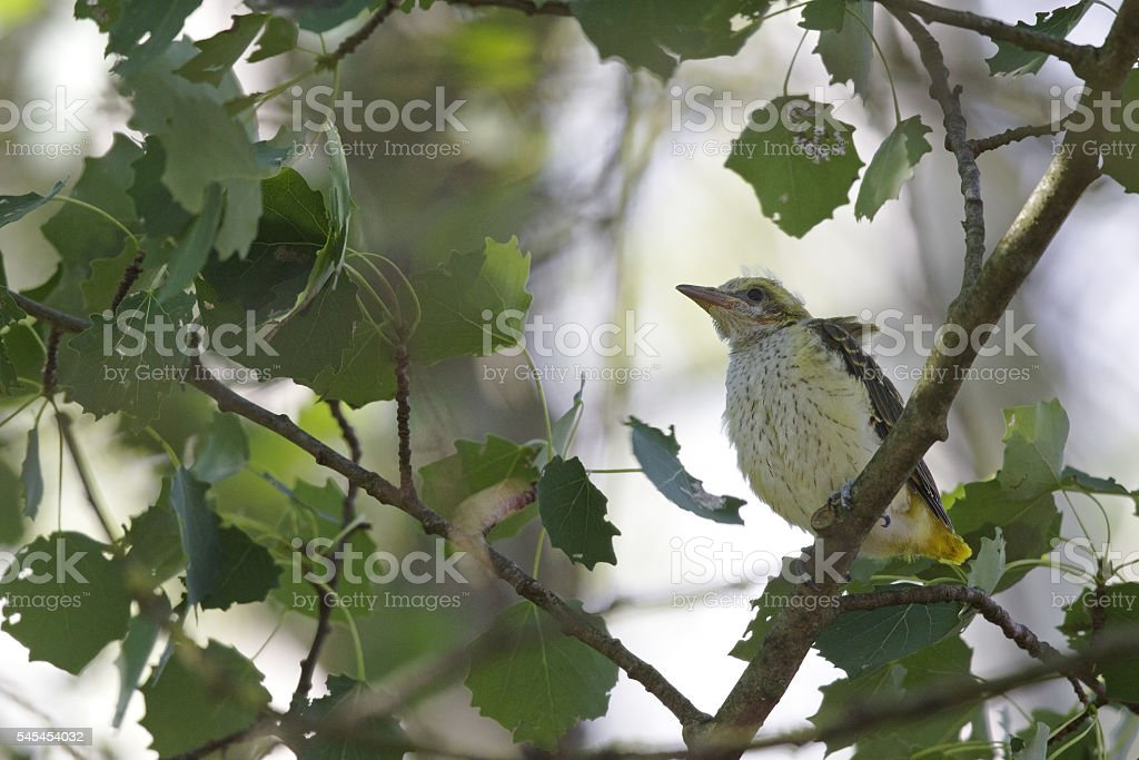 Juvenile Eurasian golden oriole pershed in a tree. stock photo