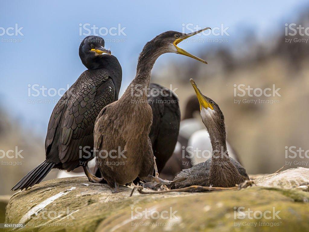 Juvenile European shags on nest stock photo
