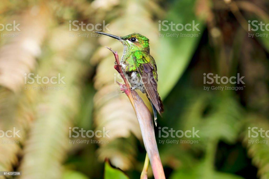 Juvenile Female Green-crowned Brilliant Hummingbird, Cotacachi...