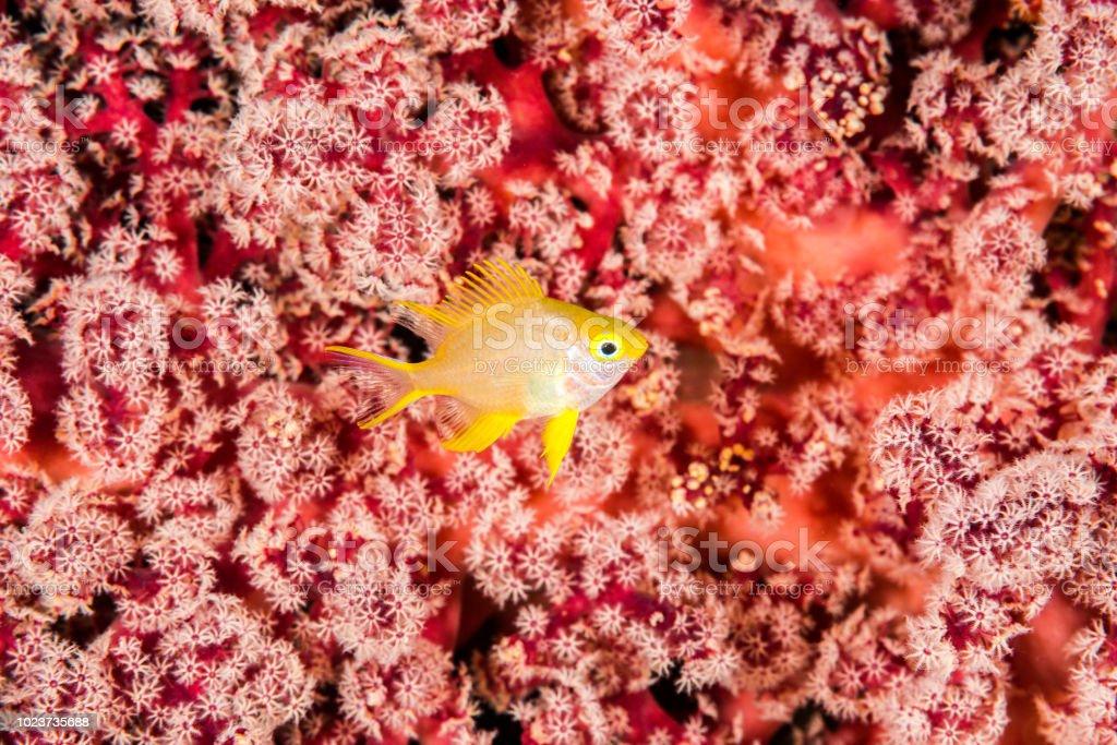 juvenile golden damsel dameselfish stock photo