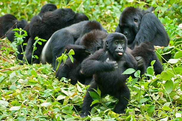 gorila de jóvenes se diga-latidos, congo, fauna y flora silvestre de la toma - gorila fotografías e imágenes de stock