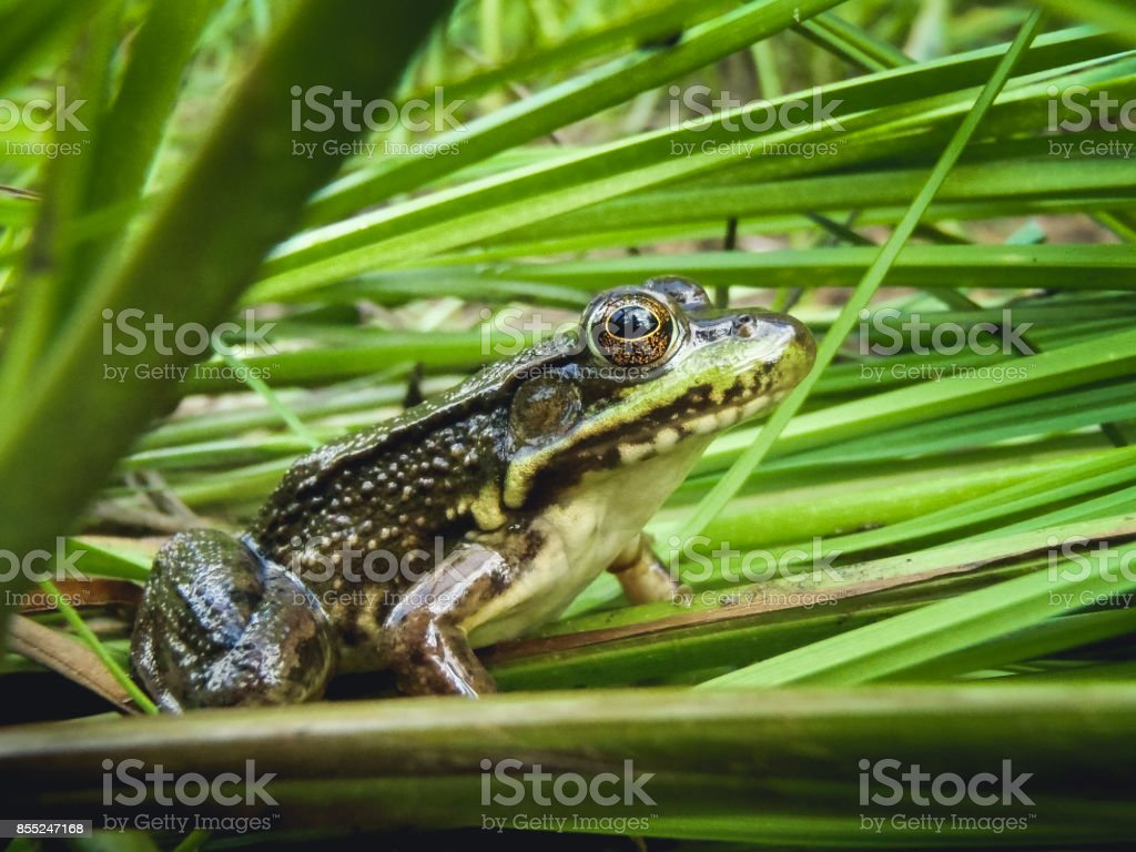 Juvenile green frog in northern Wisconsin stock photo