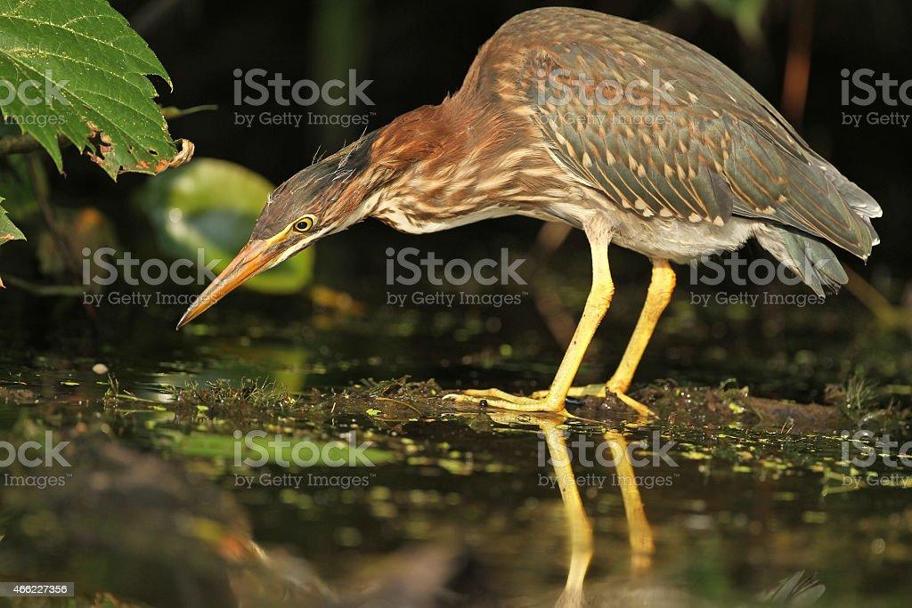Juvenile Green Heron Stalking its Prey stock photo