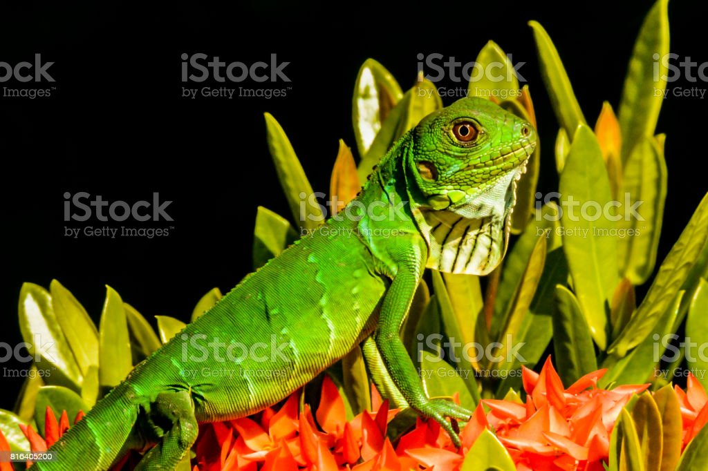 Juvenile Green Iguana stock photo