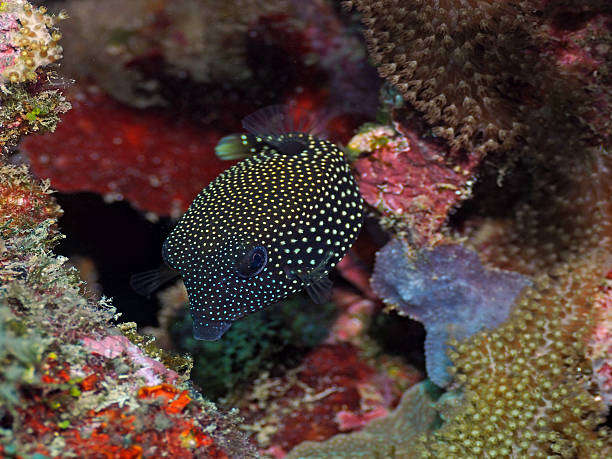 Juvenile Guineafowl puffer in Moalboal, the Philippines stock photo