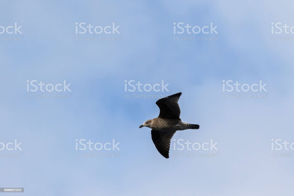 Juvenile Gull bird with dark bill and mottled brown gray feathers flying in Tasmania, Australia stock photo