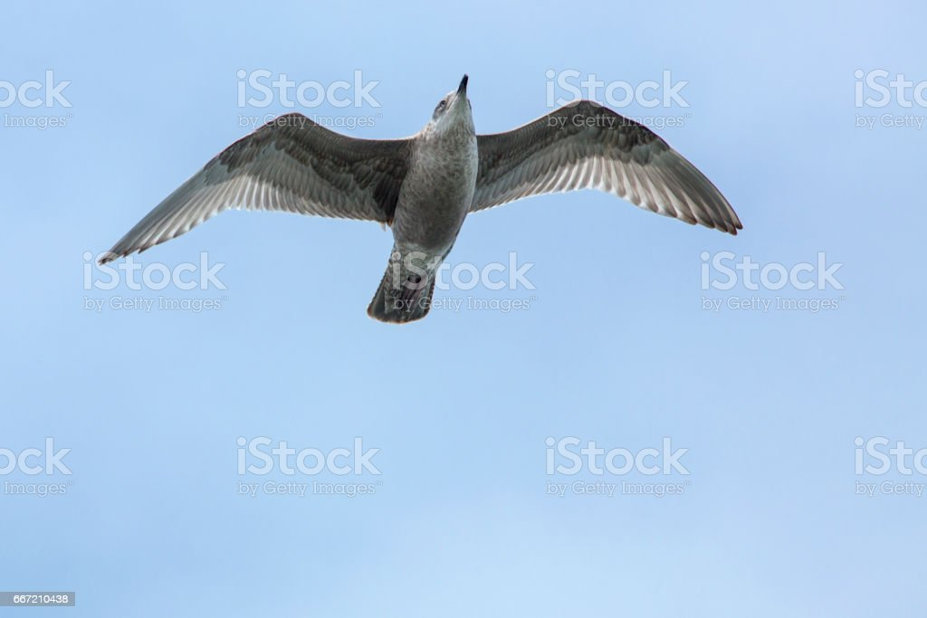 Juvenile herring gull soars over mouth of the Delaware River. stock photo