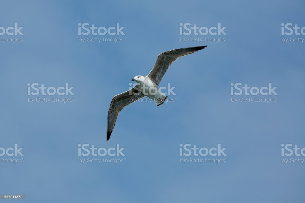Juvenile herring gull soars over mouth of the Delaware River. royalty-free stock photo
