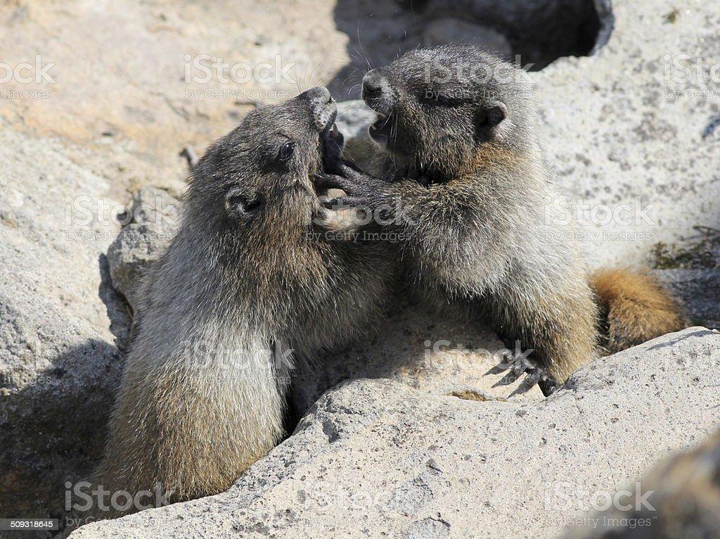 Juvenile Hoary Marmots Wrestling royalty-free stock photo
