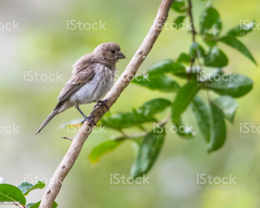 Juvenile House Finch royalty-free stock photo