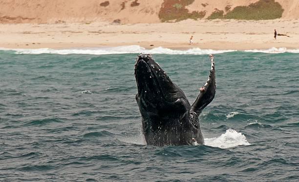 Juvenile Humpback Breach stock photo