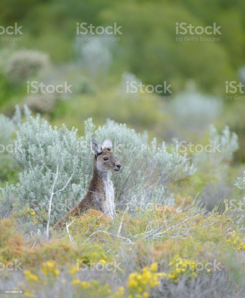 Juvenile Kangaroo royalty-free stock photo