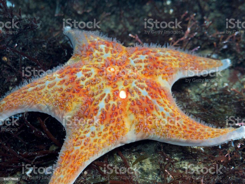 Juvenile Leather Star (Dermasterias imbricata) stock photo