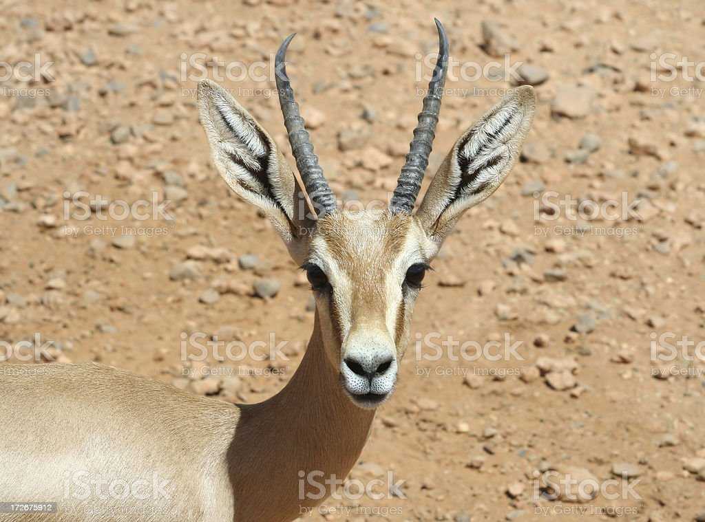 Juvenile Libyan Scimitar Oryx stock photo