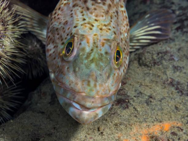 Juvenile Ling Cod Head (Ophiodon elongatus) stock photo