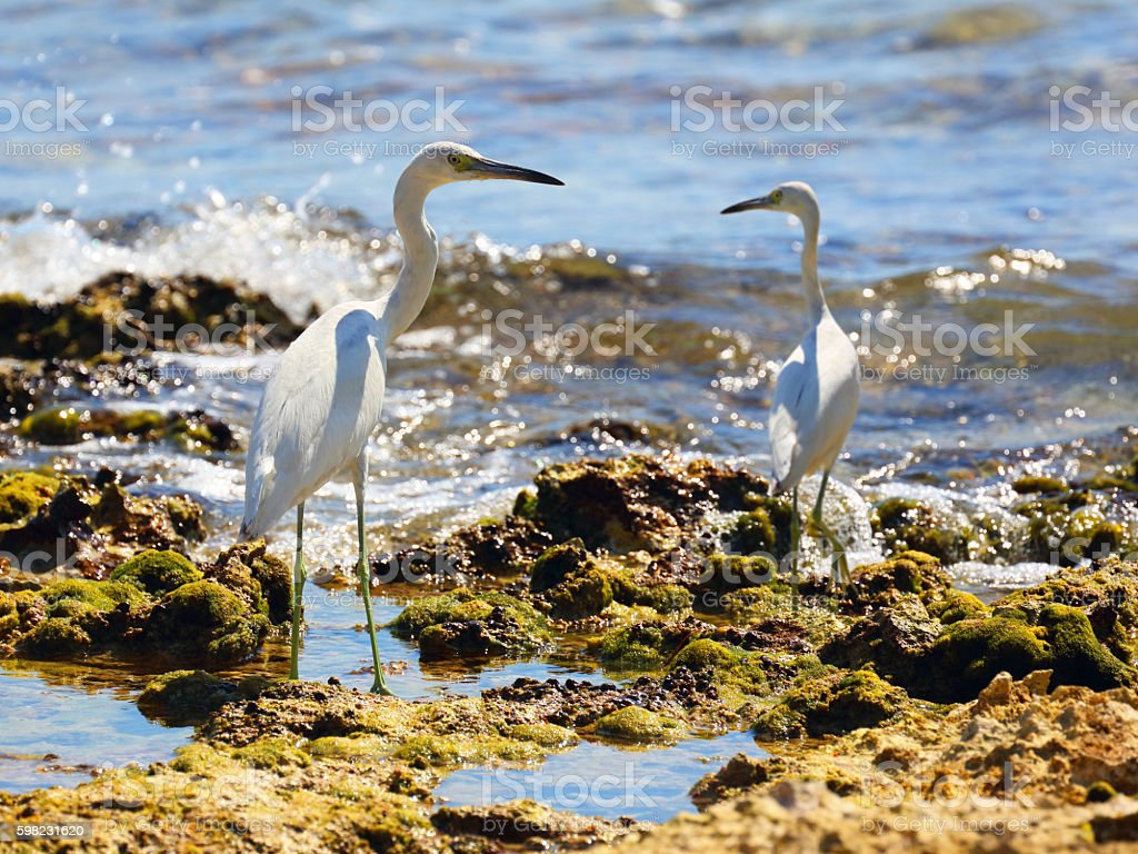 Juvenile Little blue herons (Egretta caerulea) in a seashore foto royalty-free