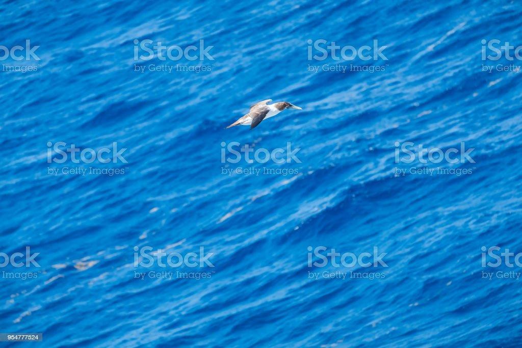 Piquero enmascarado juvenil volando sobre el mar Caribe - foto de stock