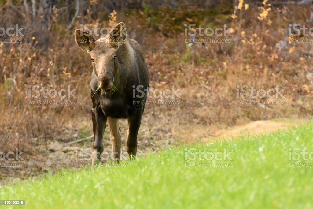 Juvenile Moose With Green Grass in Mouth stock photo