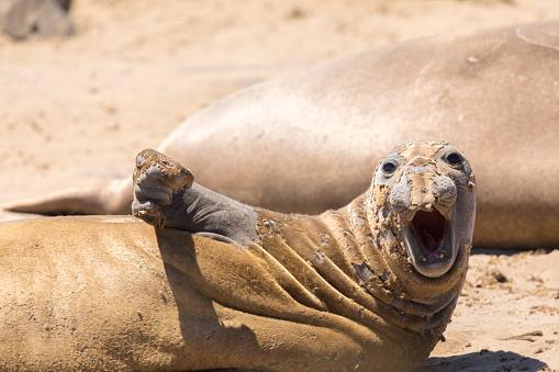 Juvenile Northern Elephant Seal Bull (Mirounga angustirostris) hawl out during molting season.