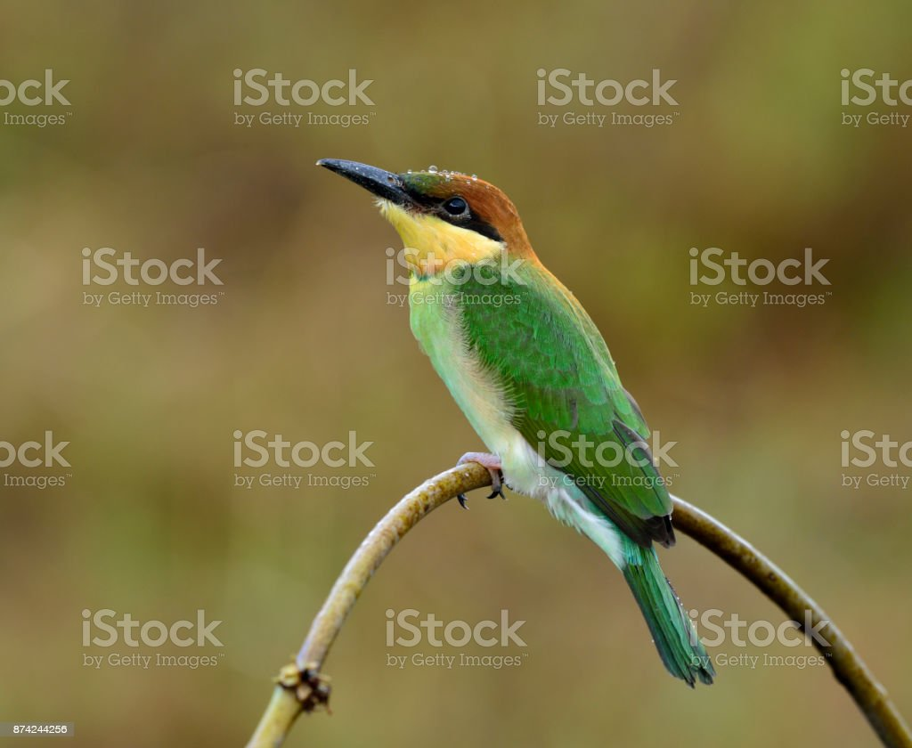 Juvenile of Chestnut-headed bee-eater (Merops leschenaulti) the stock photo