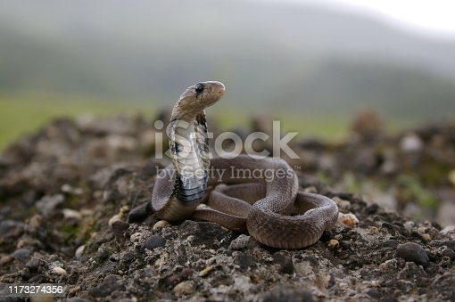 Juvenile of Indian Spectacled Cobra (Naja naja) Naja naja is a species of venomous snake native to the Indian subcontinent. responsible for most fatal snakebites in India. On the rear of the snake's hood are two circular ocelli patterns connected by a c