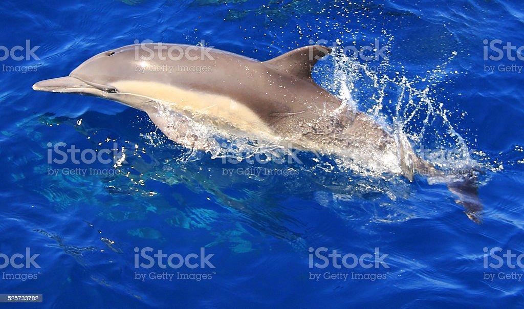 Juvenile Pacific Common Dolphin stock photo