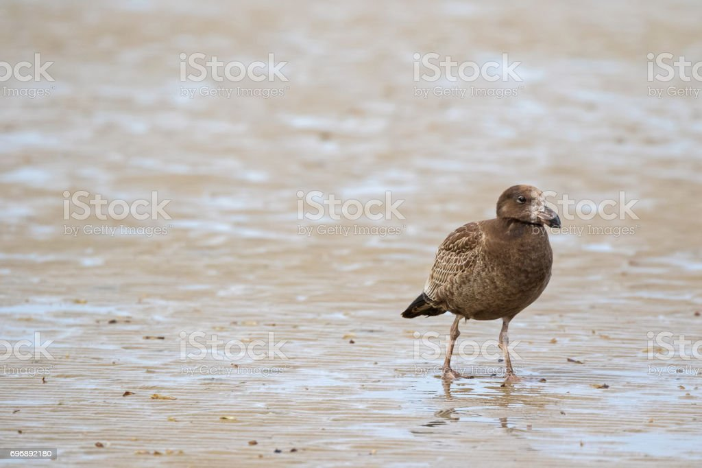 Juvenile Pacific Gull bird walking on low tide seashore looking for food in Tasmania Australia stock photo