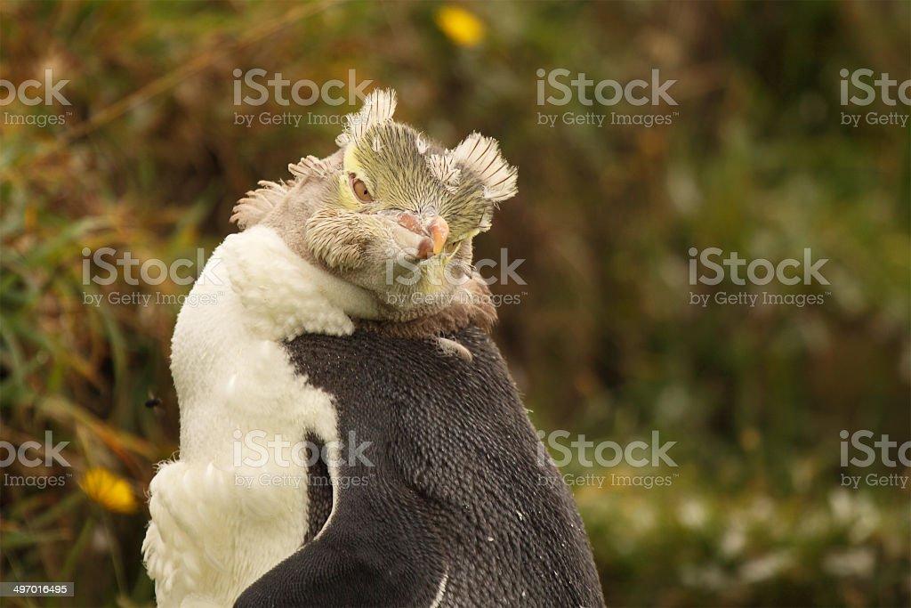 Juvenile Penguin During Molt stock photo