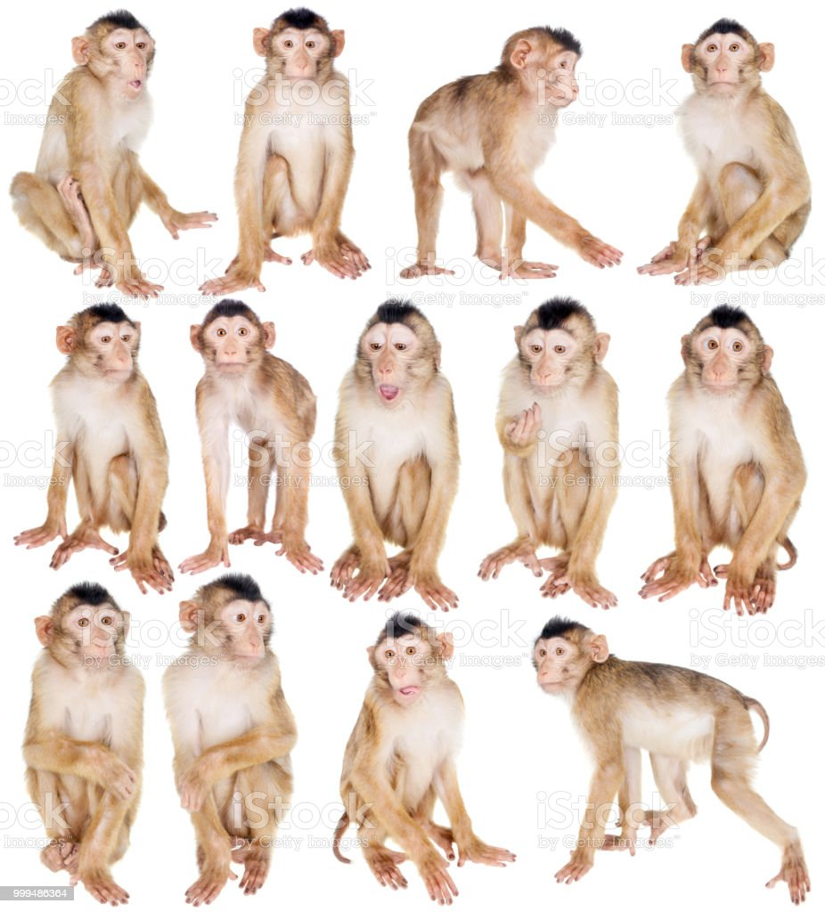 Juvenile Pig-tailed Macaque, Macaca nemestrina, on white stock photo