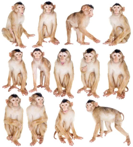 juvenile pig-tailed macaque, macaca nemestrina, on white - macaco foto e immagini stock