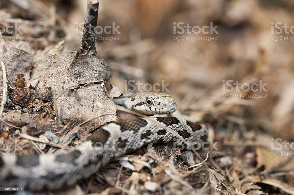 juvenile rat snake - Elaphe obsoleta stock photo