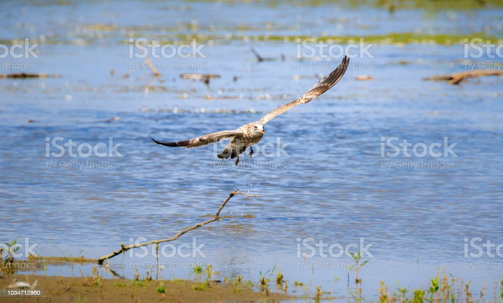 Juvenile ring-billed gull in flight stock photo