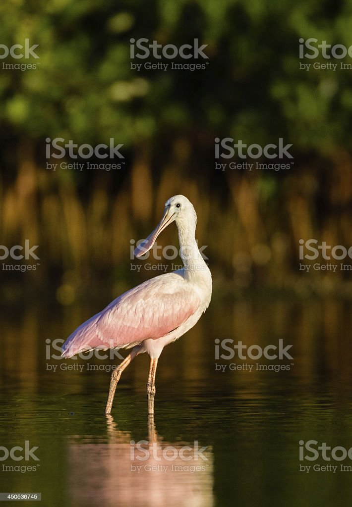 Juvenile Roseate Spoonbill royalty-free stock photo