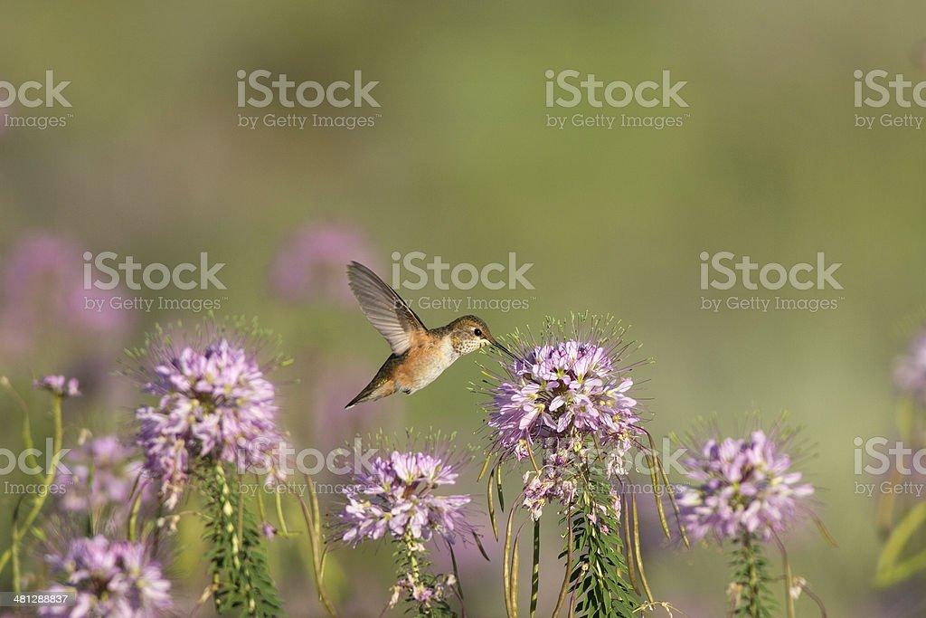 Juvenile Rufous Hummingbird in Arizona stock photo