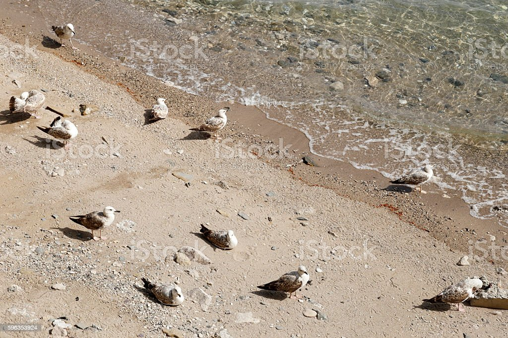 Juvenile seagulls resting on the shore royalty-free stock photo
